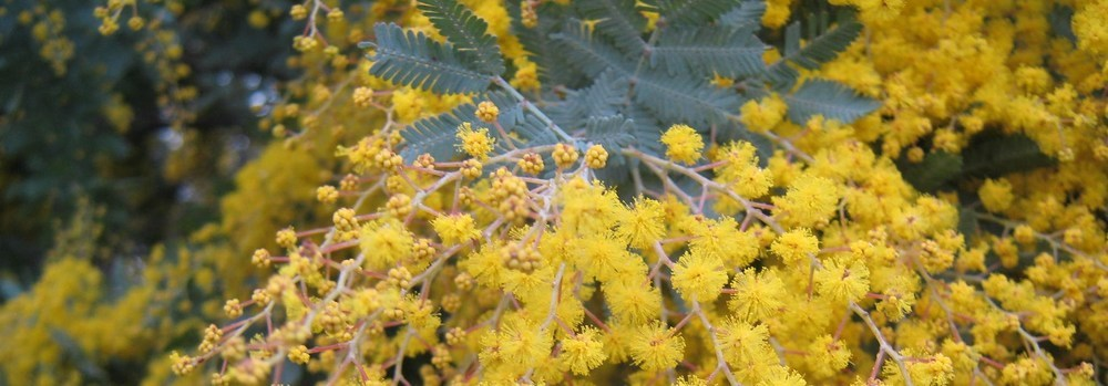 Wattle Flower. South Australia founded 1836. photo: pixabay.com