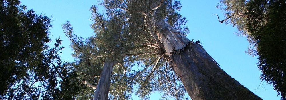 Styx Forest. Tasmania founded 1825. photo: pixabay.com